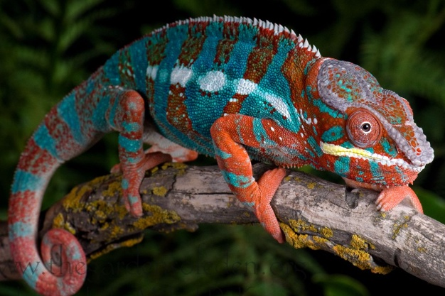 2 Reasons Why Chameleon Changes their Colour?