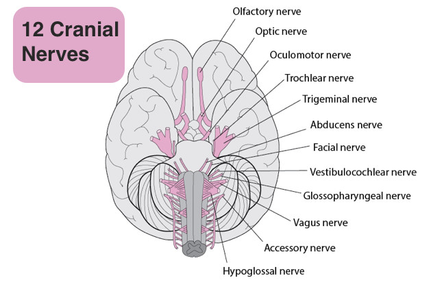 List of 12 Cranial nerves